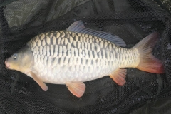 NG Fisheries Mirror Carp For Sale C3 5lb