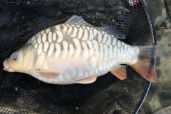 NG Fisheries Carp For Sale C3 5lb